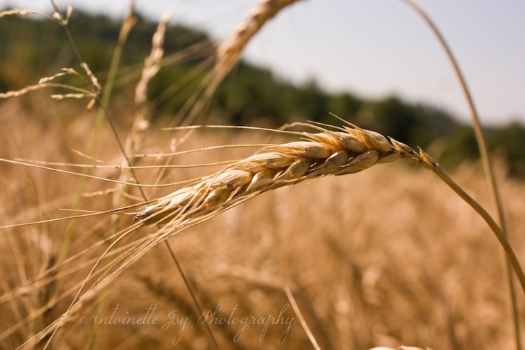 Dry Wheat 3