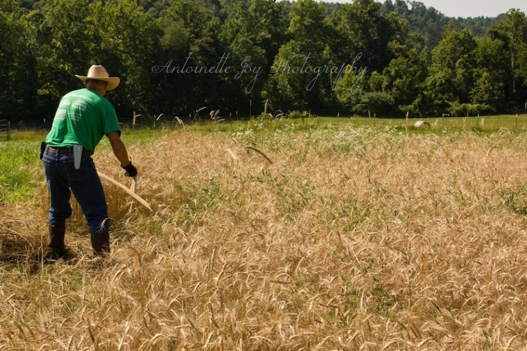 Dry Wheat 5