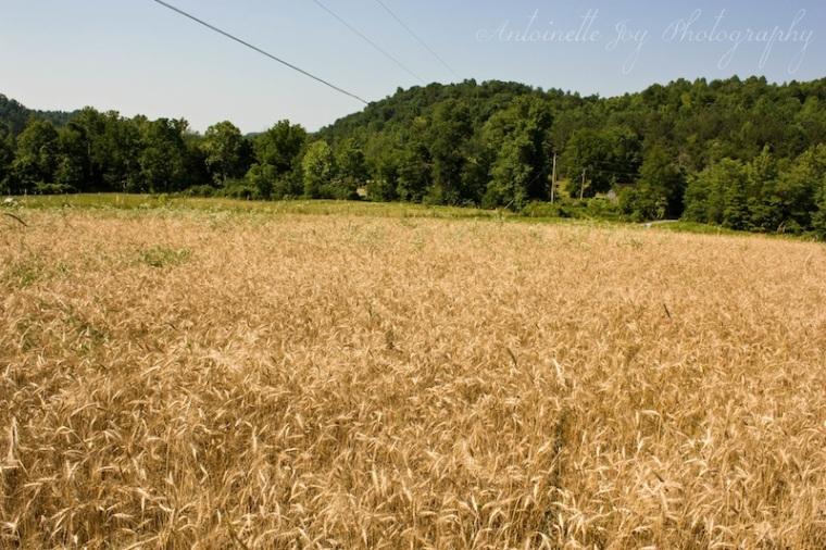 Dry Wheat 1