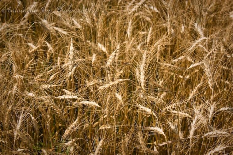 Dry Wheat 2