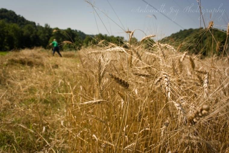 Dry Wheat 6