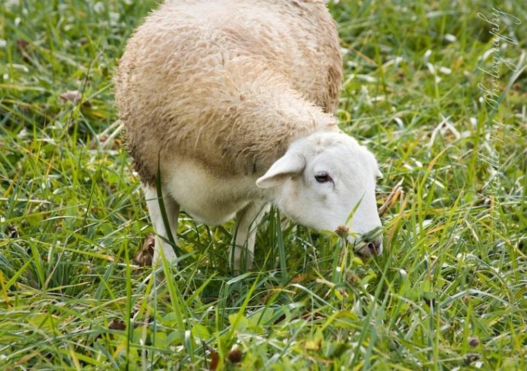 Sheep Photos 1 WM