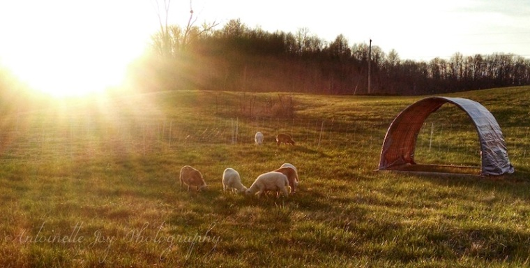 Sheep Summer 2014 WM