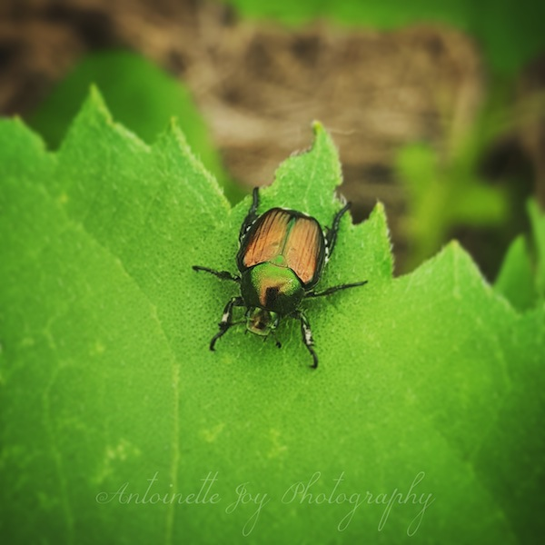 Japanese Beetle WM