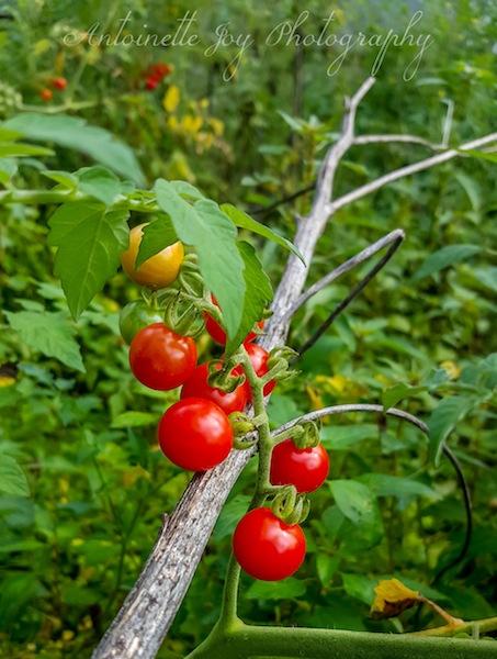 Tomatoes WM